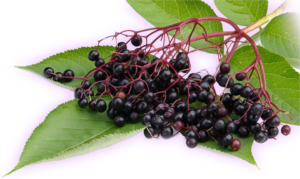 elderberry-receipes