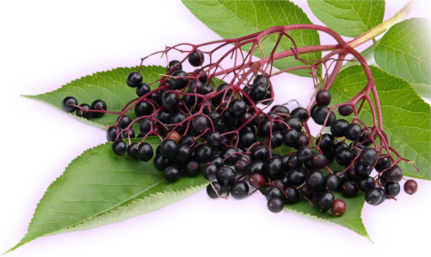 Elderberry Recipes from The Regrets of Cyrus Dodd
